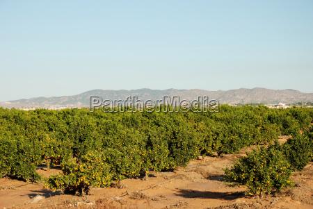 orangenplantage in murcia spanien