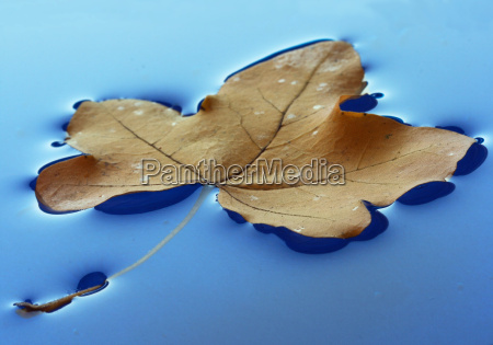 blau blatt baumblatt makro grossaufnahme macro