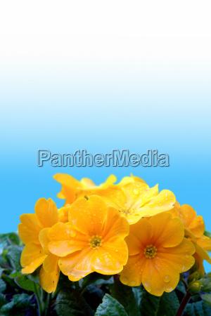 yellow primrose primula vulgaris hybrids
