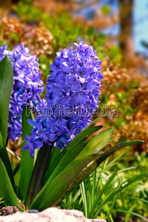 hyacinthus orientalis hyacinthus orientalis