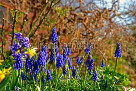 small grape hyacinth muscari botryoides