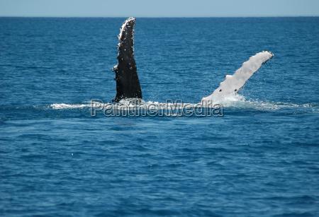 buckelwale vor australien