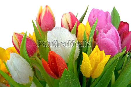 tulips with dew drops