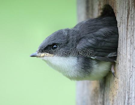 baby baum schwalbe in einem vogel