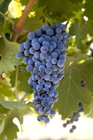 reif frucht obst fruchtig bueschel cluster