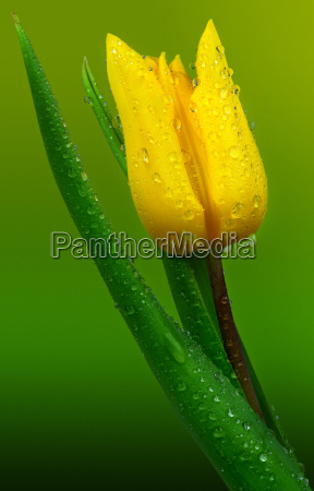 tulip with dewdrops