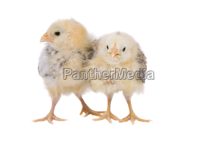 two baby chicks