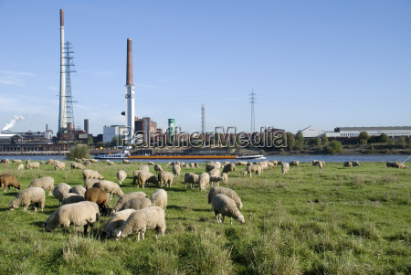 rhine sheep
