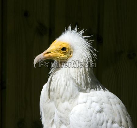 dirt vultures
