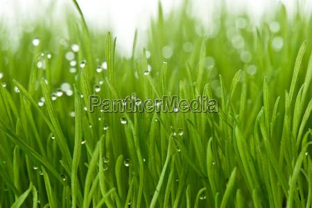frisches gruenes gras
