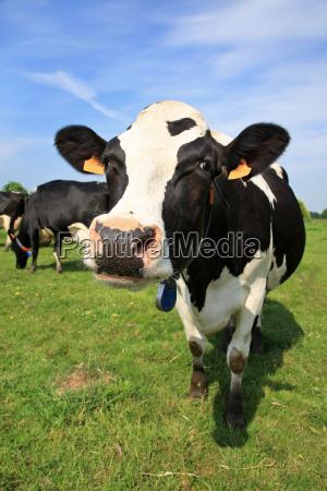 einladende kuh