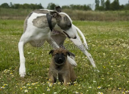greyhound and puppy shepherd