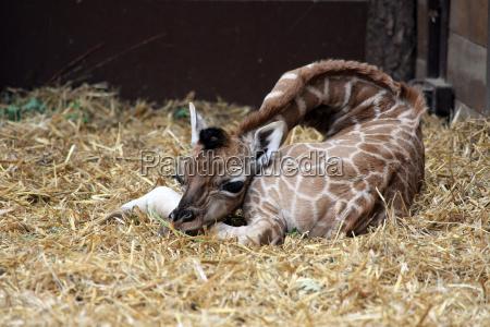 giraffenjunges liegend