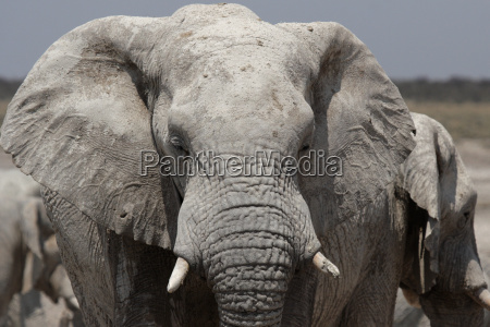 elefant im etosha nationalpark namibia
