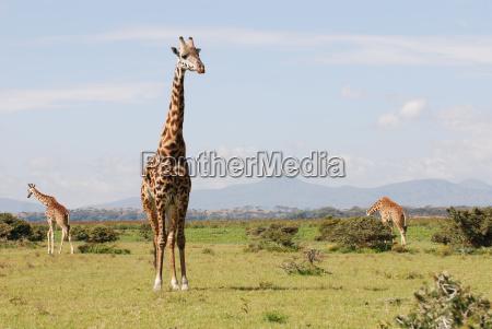 giraffen in der afrikanischen savanne