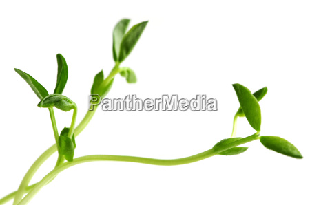 green sprouts on white background