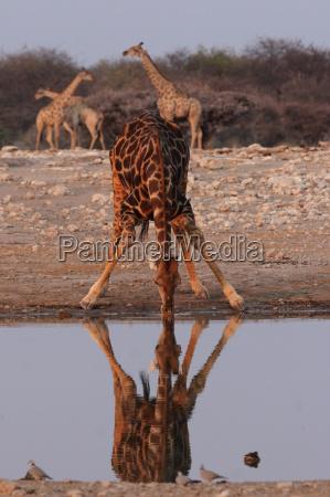 trinkende giraffe im etosha nationalpark