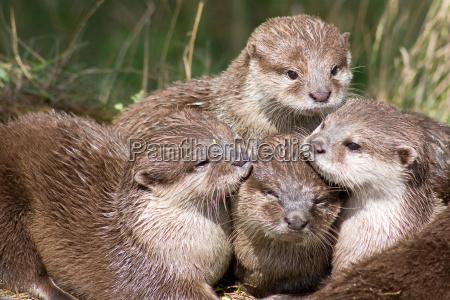 otterfamilie