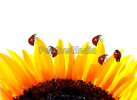 marienkaefer auf sonnenblume