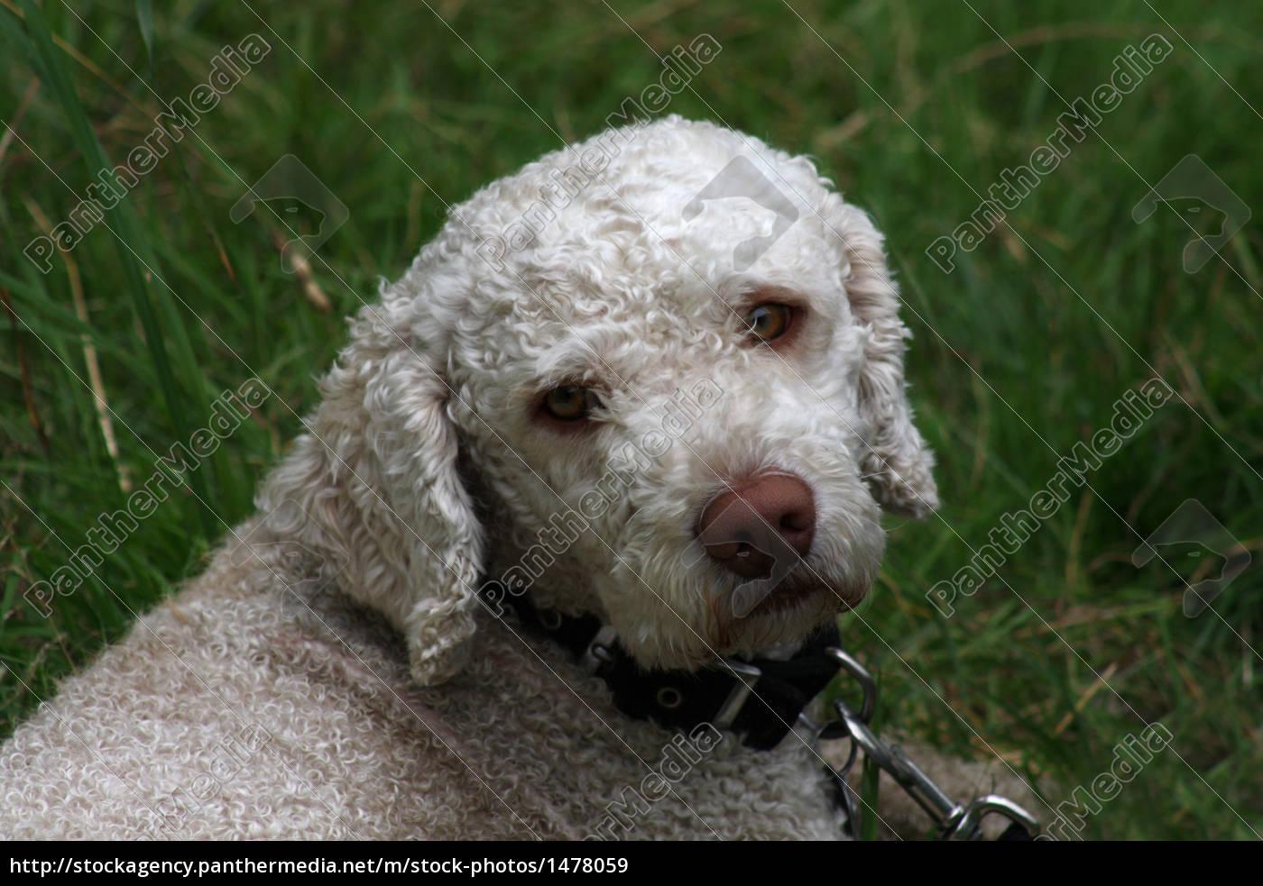 Spanischer Wasserhund Lizenzfreies Bild 1478059 Bildagentur Panthermedia