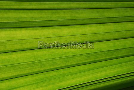 palmblatt, nahaufnahme - 1482051