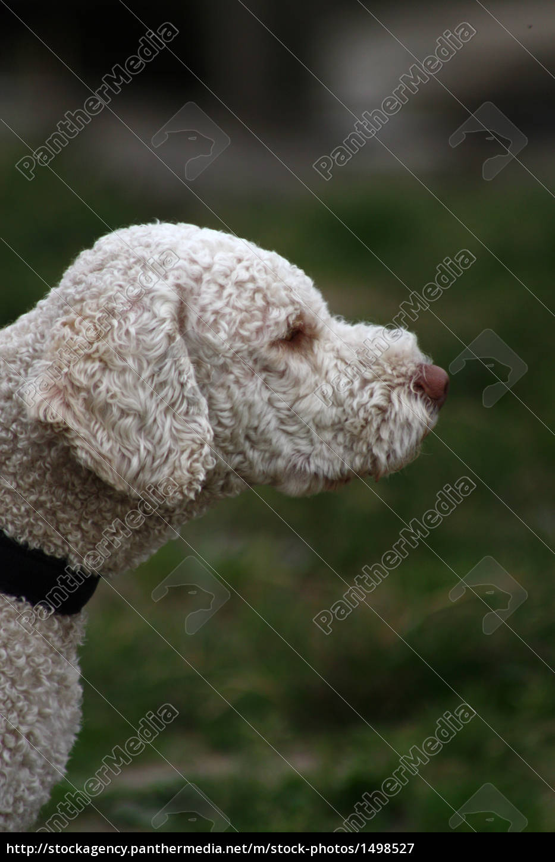 Spanischer Wasserhund Im Profil Stockfoto 1498527 Bildagentur Panthermedia