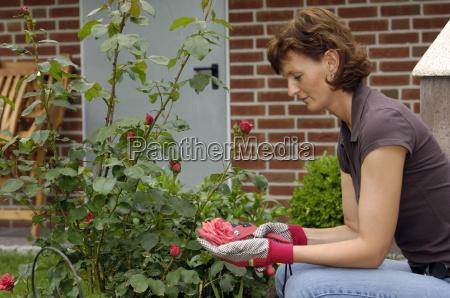 frau schneidet rosenstrauch