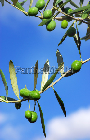 green olives of the tree
