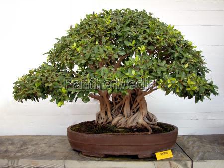 bonsai - 1529275