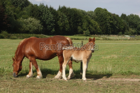 draft horse mare with foal