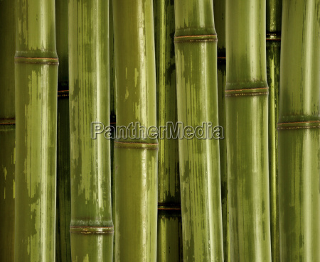 fine bamboo background