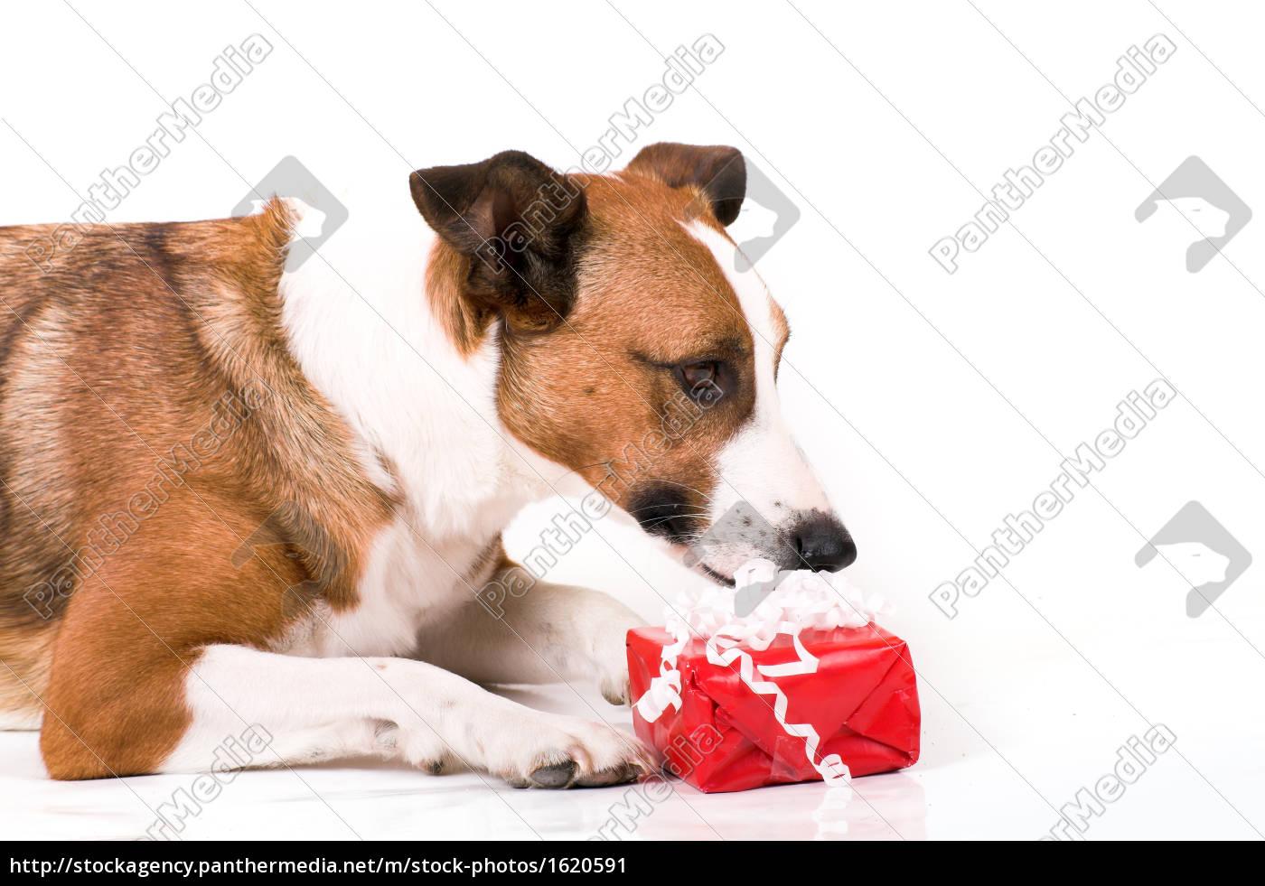 rot tier winter portrait freude weihnachten spaß hund - Stockfoto ...