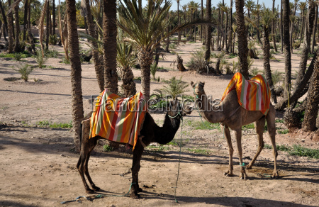 camels in marrakech