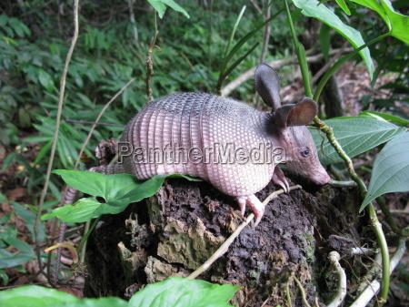 guerteltier dasypodidae in amazonien