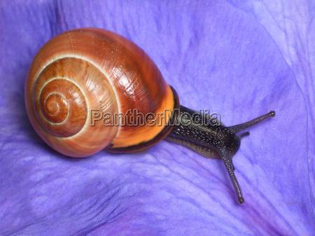 garden ribbon snail