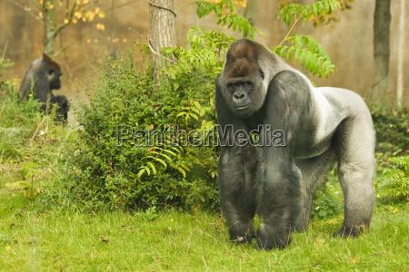 silberruecken gorilla