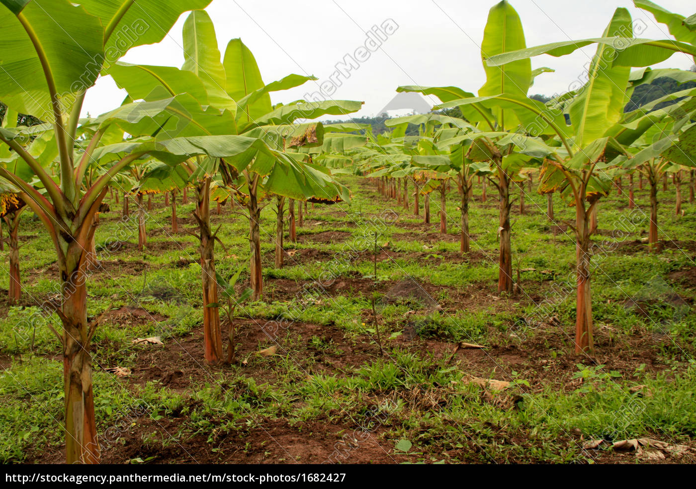 bananenplantage, in, südamerika - 1682427
