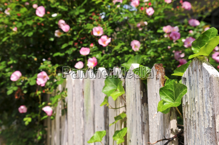 garden fence with roses