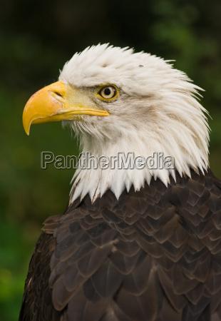 bald eagle national symbol usa