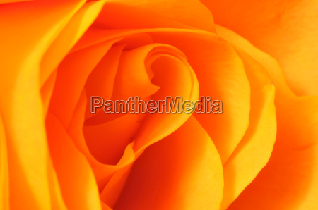orange rose makroaufnahme