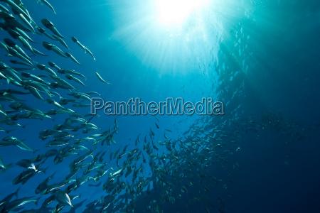 gestreifte mackerel