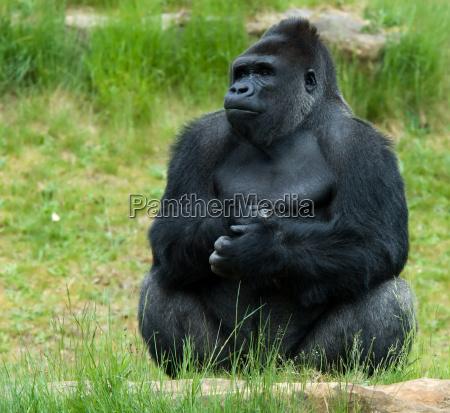gorilla maschio