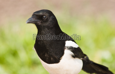 european magpie or common magpie