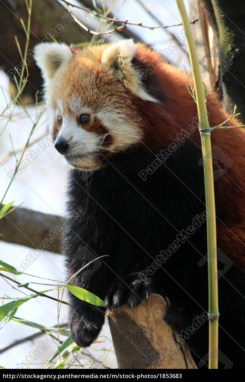 Roter Pandabar Lizenzfreies Bild 1853683 Bildagentur Panthermedia