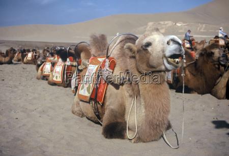 kamele dunhuang china