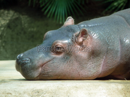 nilpferd flusspferd hippo tierbaby
