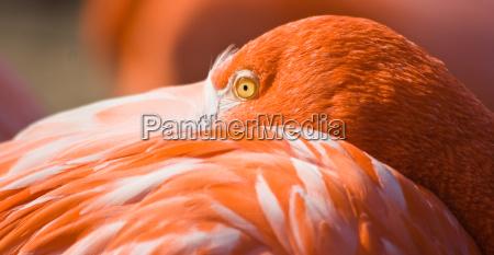 orange flamingo resting