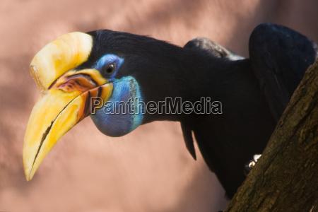 knobbed hornbill female