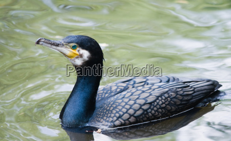 great cormorant swimming