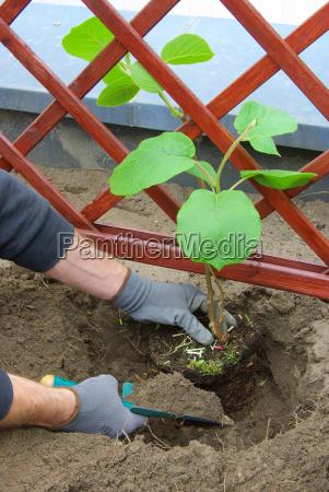 kiwipflanze plants planting a kiwi